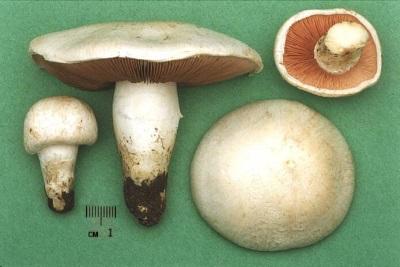 Характеристики грибов шампиньонов