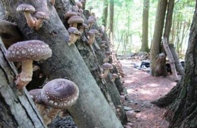 Метод выращивания грибов шиитаке для лекарственных целей