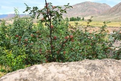 Распространение сычуаньского перца