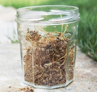 Отвары и чай из семян укропа