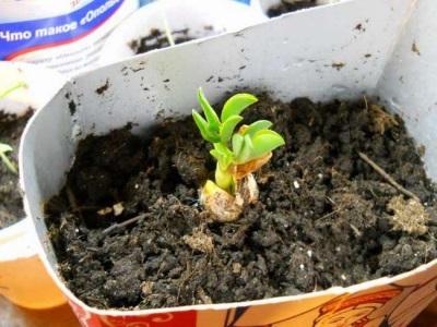 Ростки из семян арахиса