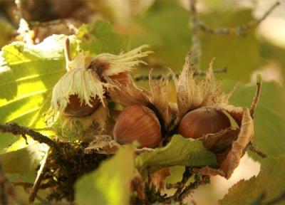 Плод лесного ореха