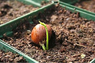 Фундук из ореха - проращивание