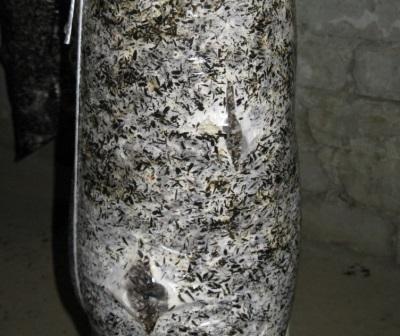 Закладка мицелия вешенки и подготовка блоков к дальнейшему выращиванию