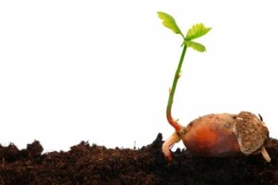 Как вырастить дуб из желудя