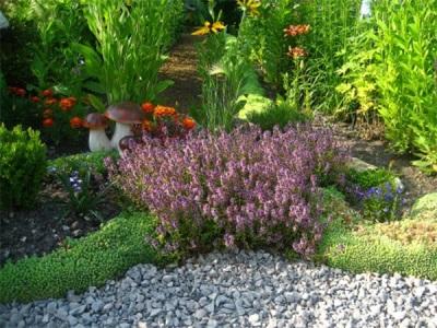 Чабрец в саду
