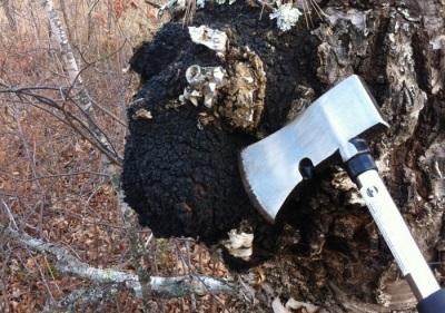 Способ сбора грибов чага