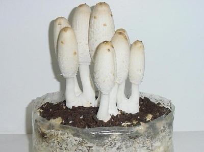 Разведение грибов навозников в домашних условиях