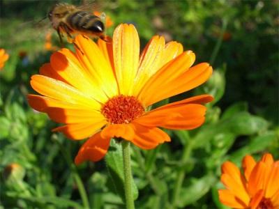 Цветы календулы привлекают насекомых