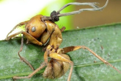 Кордицепс на муравьях