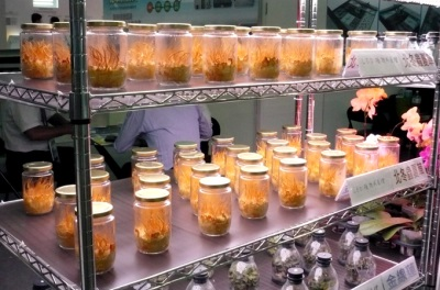 Выращивание кордицепса - искусственная методика