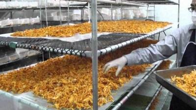 Выращивание кордицепса в промышленных масштабах