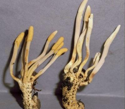 Полноценный гриб Кордицепс