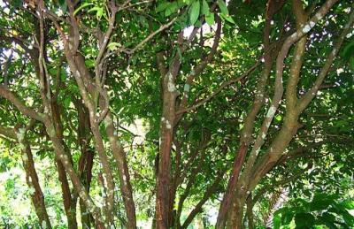 Внешний вид коричного дерева