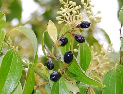 Плоды, цветы и листья дерева корицы