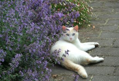 Кот и кошачий котовник