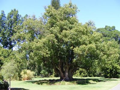 Лавровое дерево в Африке