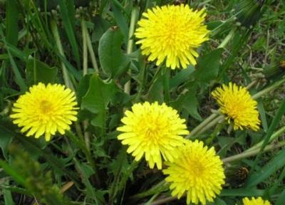 Одуванчик цветы и листья