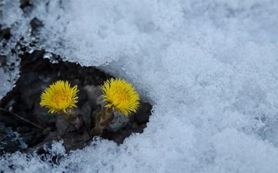 Первые весенние цветы мать-и-мачехи