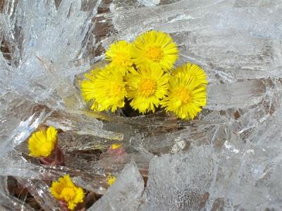 Цветы мать-и-мачехи на Байкале