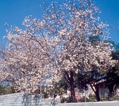 Дерево сорта Калифорнийский миндаль