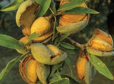 Орешки миндального дерева