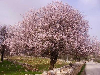 Дерево горького миндаля