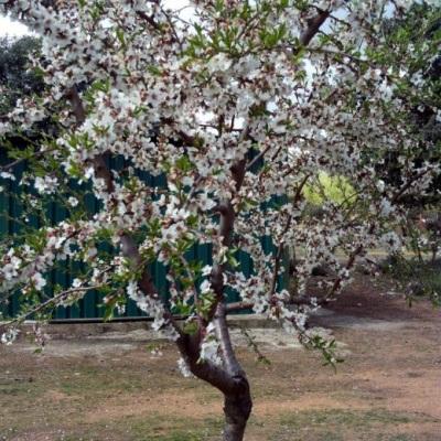 Миндальное дерево разновидности обыкновенного миндаля