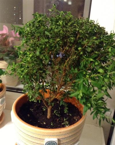 Миртовое дерево в горшке