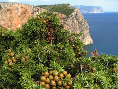 Можжевельник в Крыму