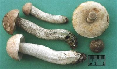 Характеристики грибов подберезовиков