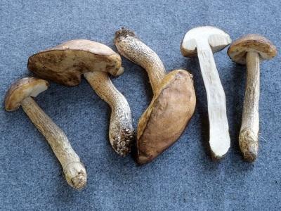 Подосиновики не редко используют в медицинских целях