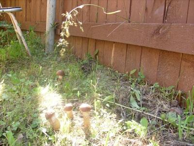 Выращивание подосиновиков