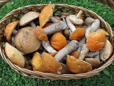 Подосиновики имеют не мало полезных для организма свойств