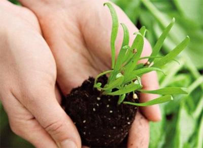 Посадка шпината весной в грунт
