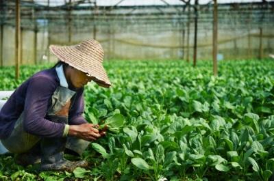 Плантации шпината в Китае