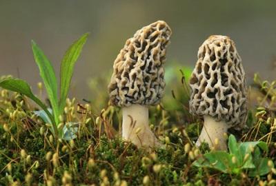 Сморчки распространены в широколиственных лесах