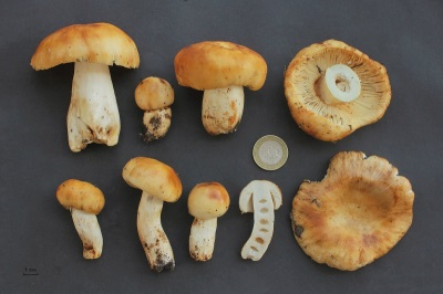 Характеристики гриба валуй