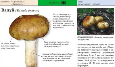 Внешний вид гриба валуй