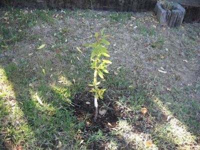 Выращивание миндального дерева