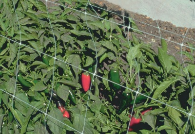Выращивание халапеньо на дачном участке и уход за ним