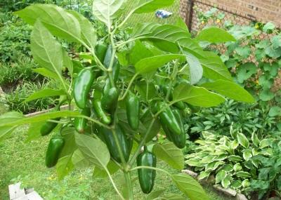 Внешний вид растения и перца халапеньо