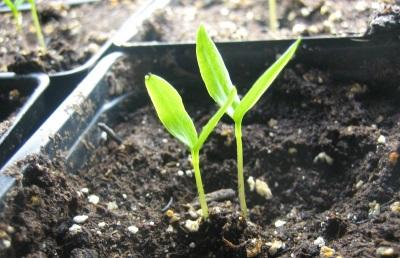 Выращивание халапеньо семенами