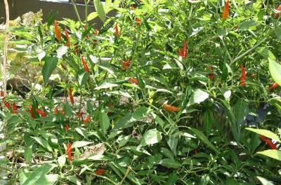 Растения перца чили