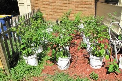 Уход за растением табаско