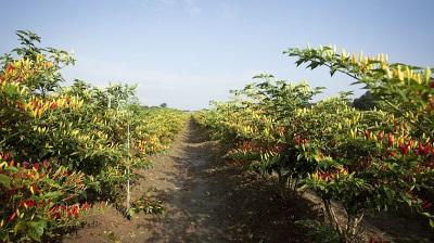 Табаско растет не только в Мексике, но и в некоторых частях Америки
