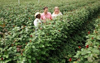 Плантации роз в Кении