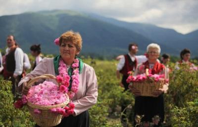 Сбор розовых лепестков в Болгарии