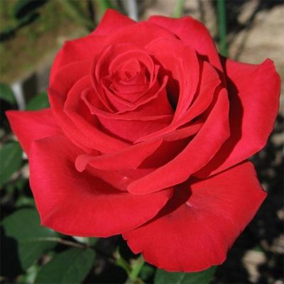 Характеристики розы