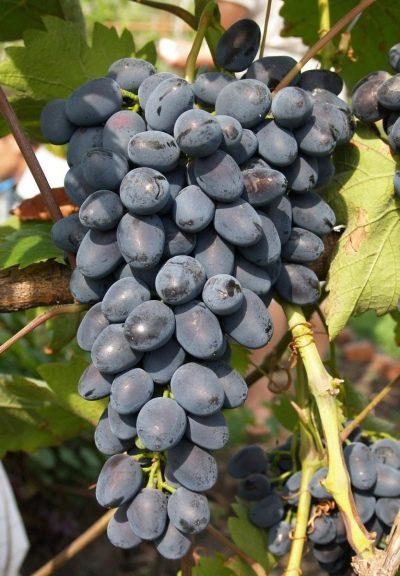 Подробное описание винограда сорта Кардинал